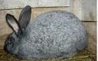 продам кролі породи полтавське срібло