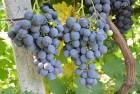 Продам виноград Страшенский оптом с поля