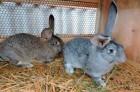 Продам великі кролики або їх мясо