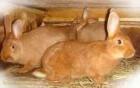 Продам Калифорнийских и Новозеландских кролей.