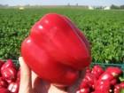 Продаём перец кубовидный красный