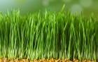 Продаємо насіння пшениці, 1 репродукція, 2 сорти: Бунчук та Богдана