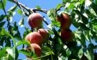 Саженцы и косточки персика Зимостойкий