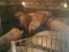 Продам свиней поросят живым весом 30голов