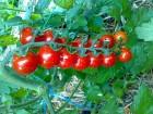 """Семена помидора """"Черри""""."""