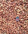 Продам семена лука севок Штутгарт 15грн/кг