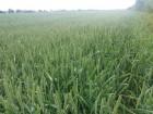 ѕродам нас≥нн¤ пшениц≥ Ѕамберка (ѕольща). «имо¤рка