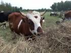 Дорого куплю КРС коров молодняк...