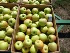 яблоки зимних сортов из молодого сада