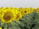 Подсолнечник Украинское сонечко  купить ультраранний гибрид