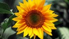 Подсолнечник Сонячній настрий заухоустойчивый низкая цена