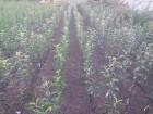 саженцы яблони,не дорого,много сортов,доставка,Винница