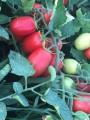 Продам помидор сливка (Диафан), отличного качества!