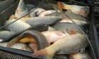 Продам живу рибу оптом