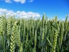 Продам насіння озимої пшениці Мулан