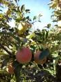 Продам яблука оптом урожай 2018!!!