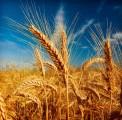 Авторские сорта озимой пшеницы