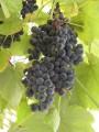 Продам виноград сорта Изабелла, самовывоз из Ужгорода