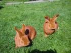 Продам кроликі Новозеландці червоні
