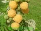 Продам саженцы малины Утренняя роса