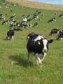 Куплю дорого быков коров лошадей