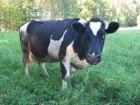 Куплю!!! дорого быков коров лошадей!!!