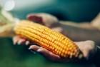 Продам кукурузу 14/2/10  10000т Черниговская обл, Черниговской район
