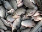 Продам товарную рыбу