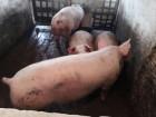 Продам свиней живым весом мясной породы,