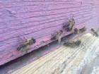 ѕчеломатки кавказ¤нки