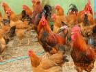 Яйца инкубационные породы Кучинская Юбилейная