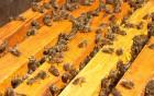 Продам пчелопакети Карпатка та Каринка