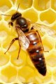 пчеломатки украинской степной