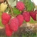 Саженцы ягодных кустарников малины, смородины, крыжовника