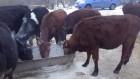 Продам крс (бычки,телки)