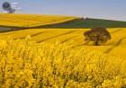 Закупаем Рапс с ГМО и без