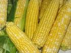 Закупаем кукурузу постоянно по всем регионам Украины