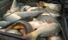 продам жевую рыбу
