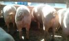 Прода свиней живым весом