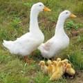 покупаем пух-перо птицы свежее, подушки, перины, шкурки кролей