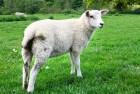 Куплю оптом овец и баранов