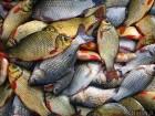Продам свежую пресноводную рыбу оптом или в розницу