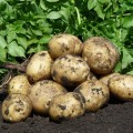 """Продам молоду картоплю сорт Рів""""єра, Мінерва"""