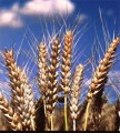 Куплю пшеницю, ячмінь, кукурудзу, жито!