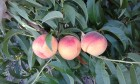 Продам персики сорт Редхевен