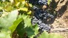 Виноградная чача - Превью изображения 2