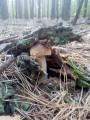 ѕродаю белые грибы, польские, краснюки, масл¤та
