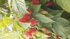 Продам саженцы малины сорт Патриция, оптом
