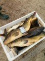 Породам живую рыбу Щука  Короп  Карась Толстолобик Амур
