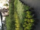 Аллейные и декоративные деревья с закрытой корневой системой